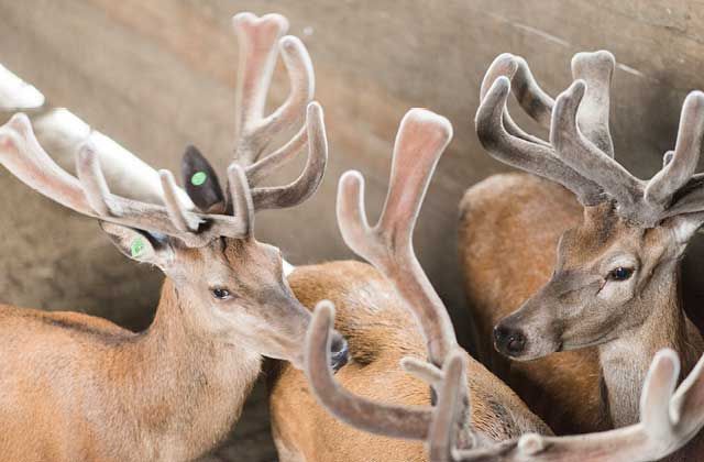 Deer antlers can grow up to 2cm per day.