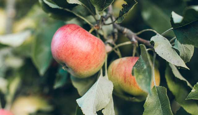 Organic Apple Cider Vinegar contains pectin, a soluble fibre found in high levels in apples.