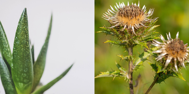 Skybright Swedish Bitters – Aloe Vera plant & Carline Root